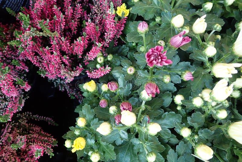 Flores coloridas del otoño con el brezo foto de archivo libre de regalías