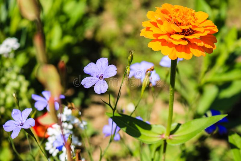 Flores coloridas del verano en el jardín y el fondo de hojas verdes Flores p?rpuras y anaranjadas foto de archivo libre de regalías