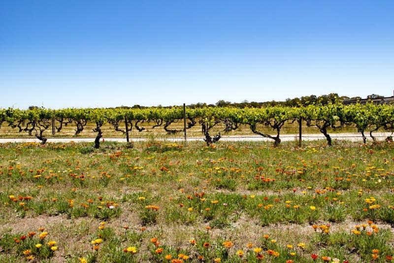 Flores coloridas delante de la vid, Barossa Valley fotografía de archivo