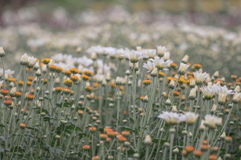 Flores coloridas do crisântemo em um jardim Os mums às vezes chamados florescem foto de stock royalty free