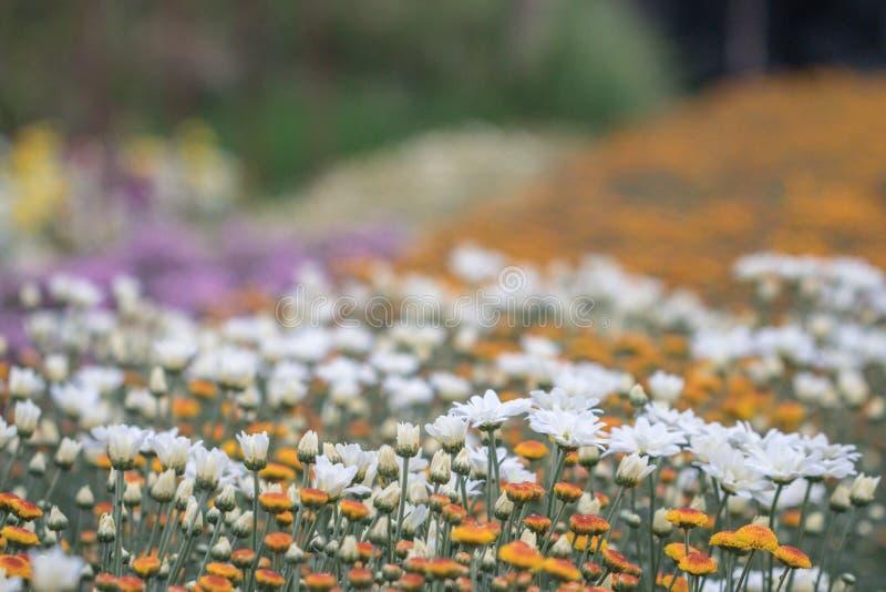 Flores coloridas do crisântemo em um jardim Os mums às vezes chamados florescem imagens de stock royalty free