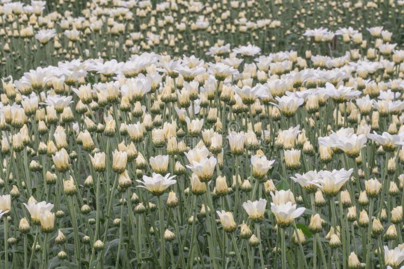 Flores coloridas do crisântemo em um jardim Os mums às vezes chamados florescem fotografia de stock