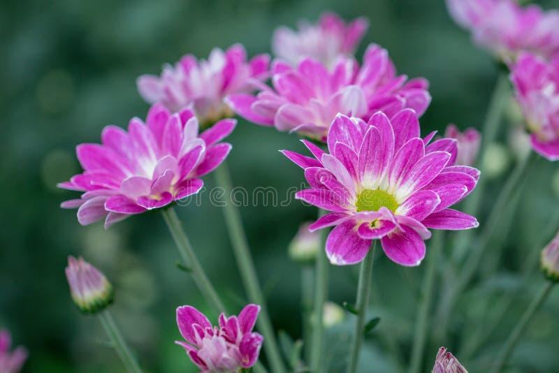 Flores coloridas do crisântemo em um jardim Os mums às vezes chamados florescem imagem de stock royalty free