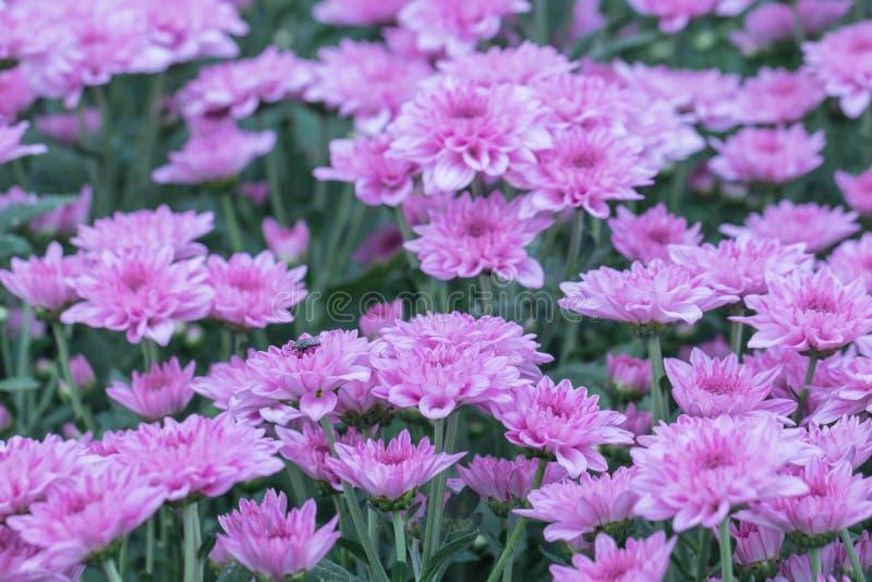 Flores coloridas do crisântemo em um jardim Os mums às vezes chamados florescem imagens de stock
