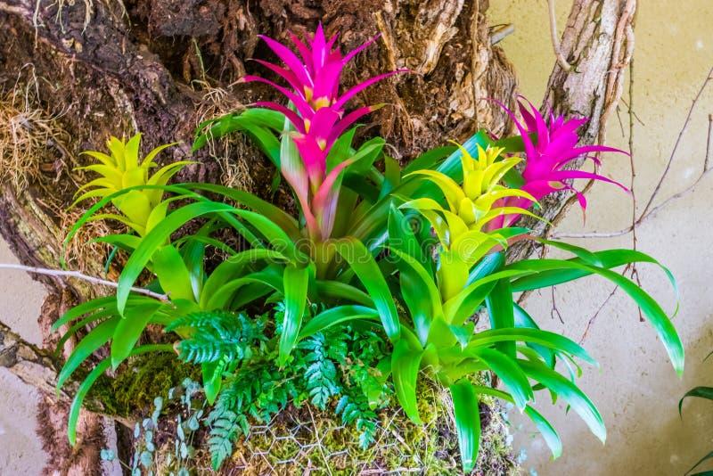 Flores coloridas do guzmania nas cores rosa e plantas artificiais decorativas amarelas, tropicais fotos de stock royalty free
