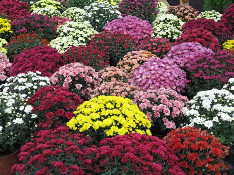 Populares Flores Coloridas Do Jardim Nos Flowerpots Foto de Stock - Imagem  UA92