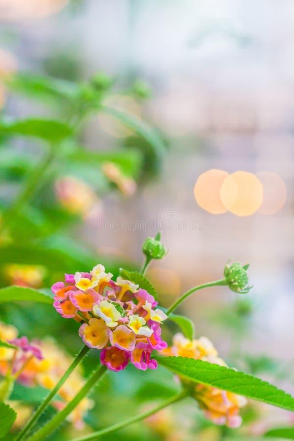 Flores coloridas do Lantana com luzes foto de stock