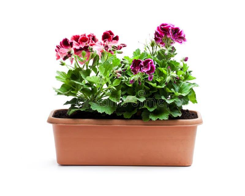 Flores coloridas do Pelargonium no vaso de flores retangular isolado fotos de stock royalty free