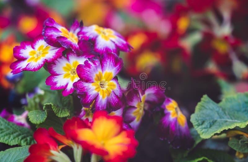 Flores coloridas do pulchella da prímula imagem de stock