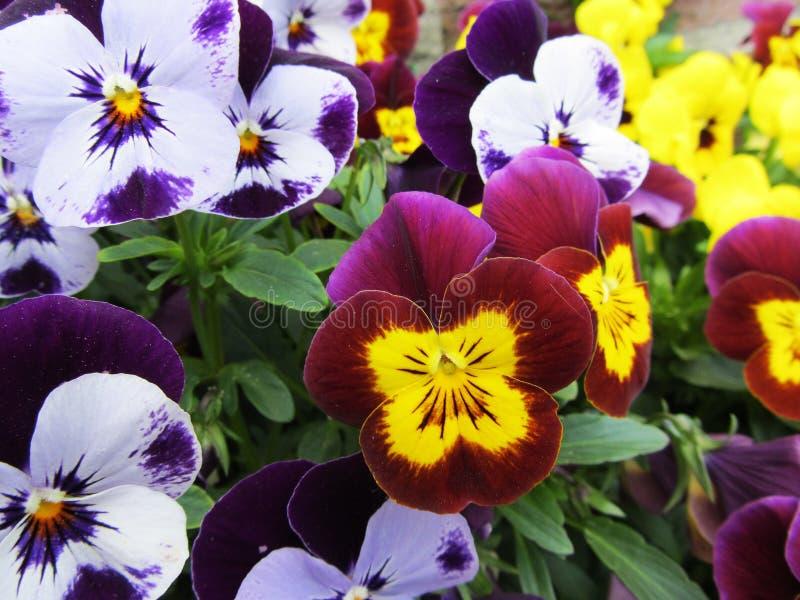 Flores coloridas e vibrantes do amor perfeito fotografia de stock