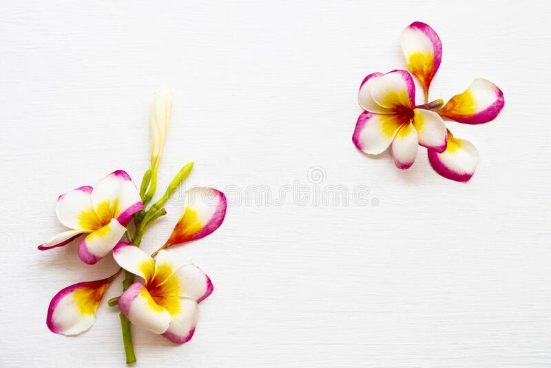 Flores coloridas flora local de frangipani da ásia na época de primavera arranjo fixo postcard foto de stock royalty free