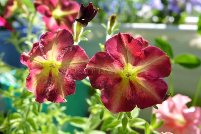 Flores coloridas hermosas de la petunia Plantas brillantemente florecientes en ponerse verde del pequeño jardín urbano en el balc fotografía de archivo