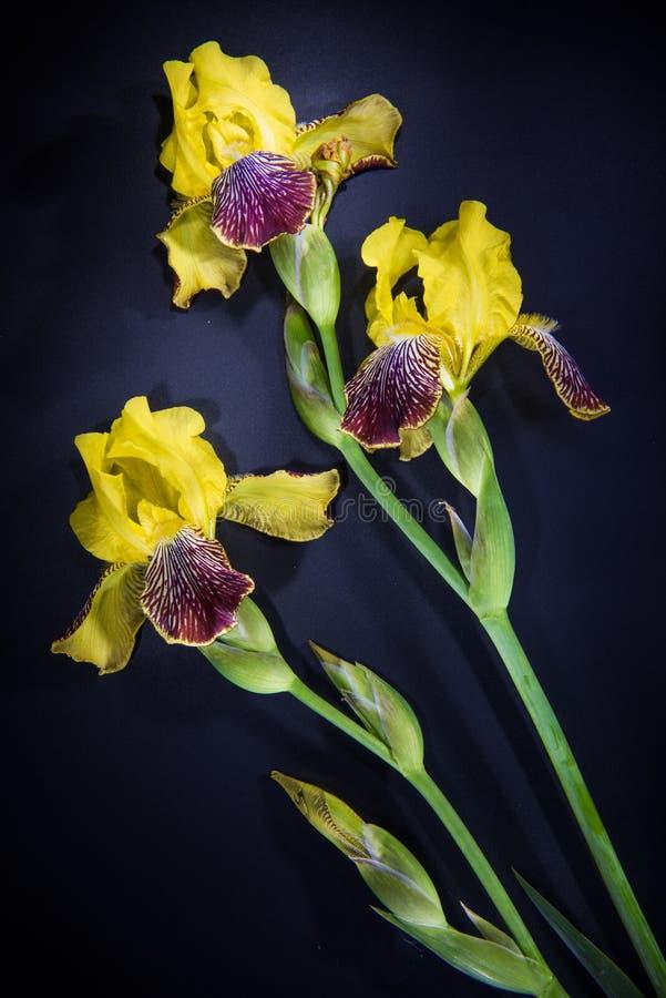 Flores coloridas no fundo preto - flor colorida da íris fotografia de stock royalty free