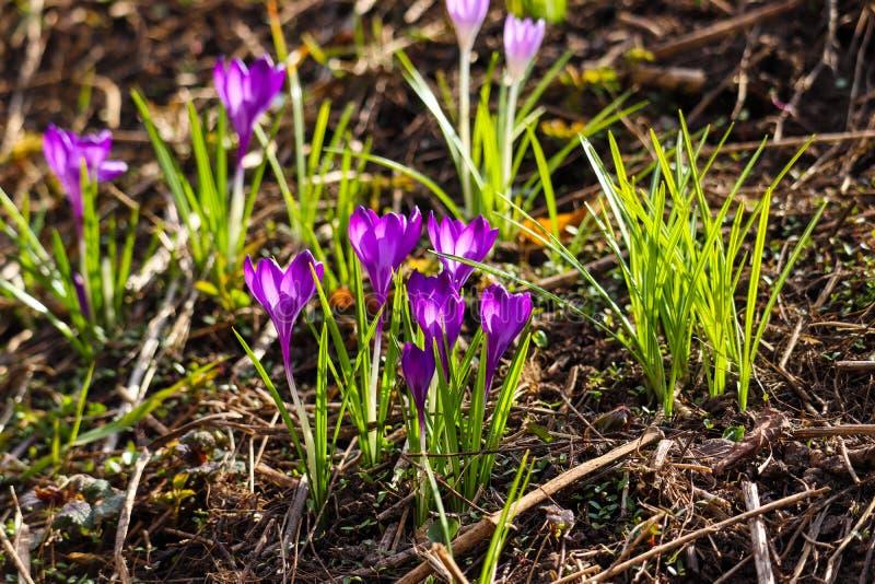 Flores coloridas púrpuras en uno de los jardines de Moscú fotografía de archivo libre de regalías