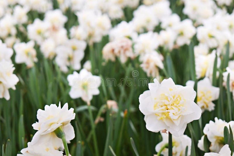 Flores coloridas plantadas no parque no tempo de mola imagens de stock