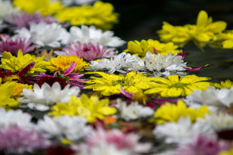 Flores coloridas que flutuam na água foto de stock