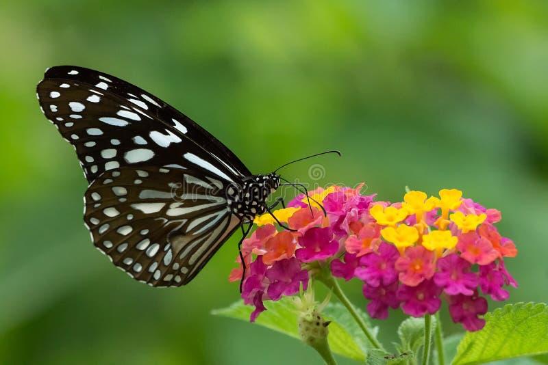Flores coloridas vítreos azuis de Ceilão Tiger Butterfly Sucking Honey From imagem de stock