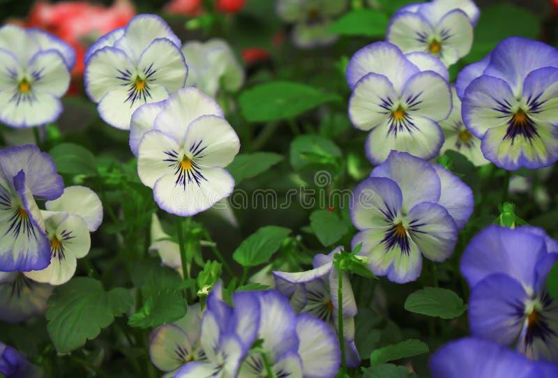 Flores coloridos coloridas da viola do amor perfeito que florescem no jardim fotos de stock