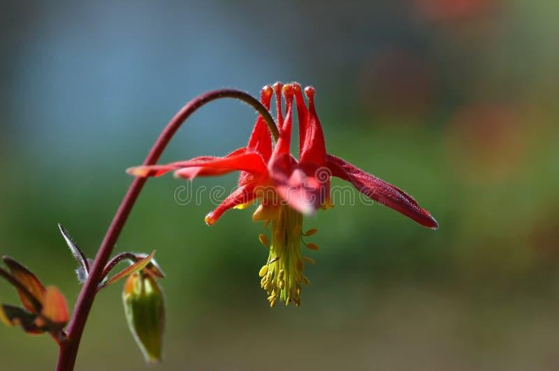 Flores columbine vermelhas fotos de stock royalty free