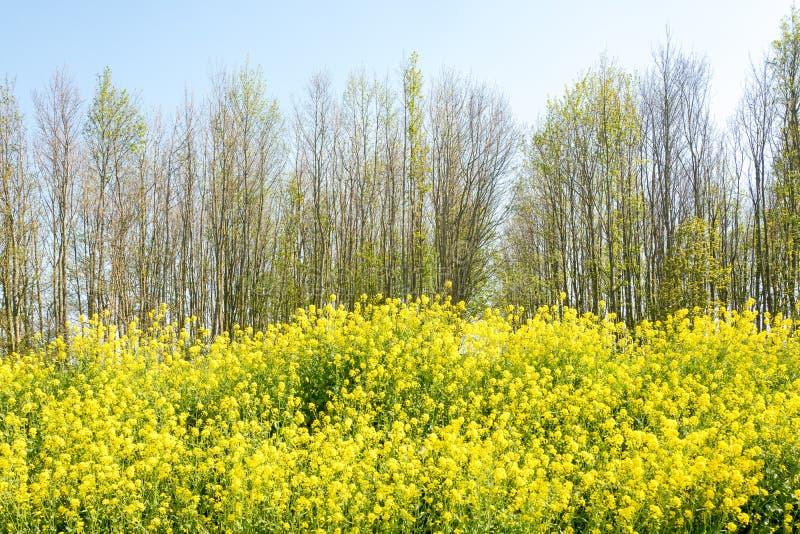 Flores, colza, e árvores da couve-nabiça na primavera fotografia de stock royalty free
