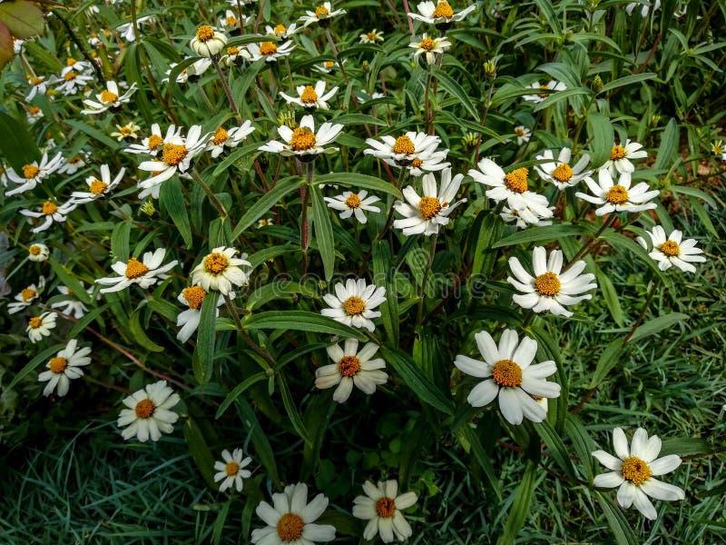 Flores como as belezas brancas fotos de stock royalty free