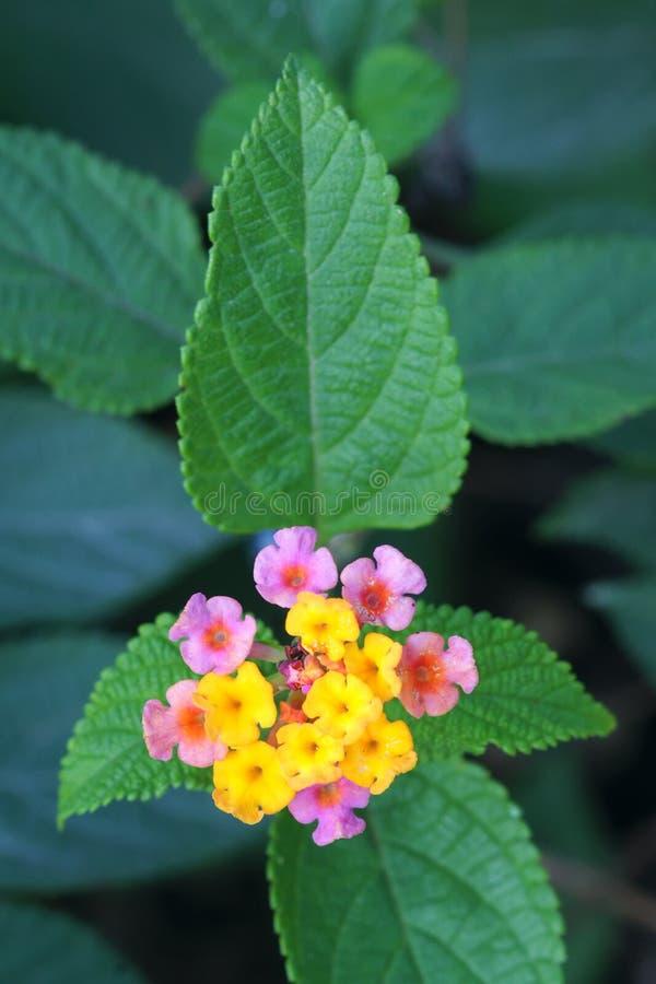 Flores comunes del lantana imágenes de archivo libres de regalías
