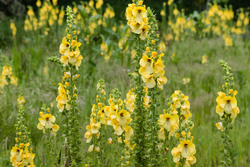 Flores comunes del mullein imagen de archivo