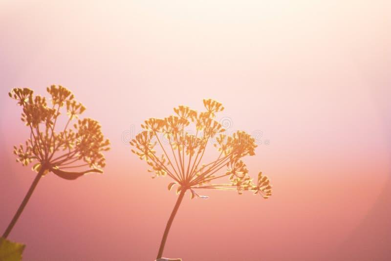 Flores con el fondo rosado borroso de la puesta del sol de la pendiente imagen de archivo libre de regalías