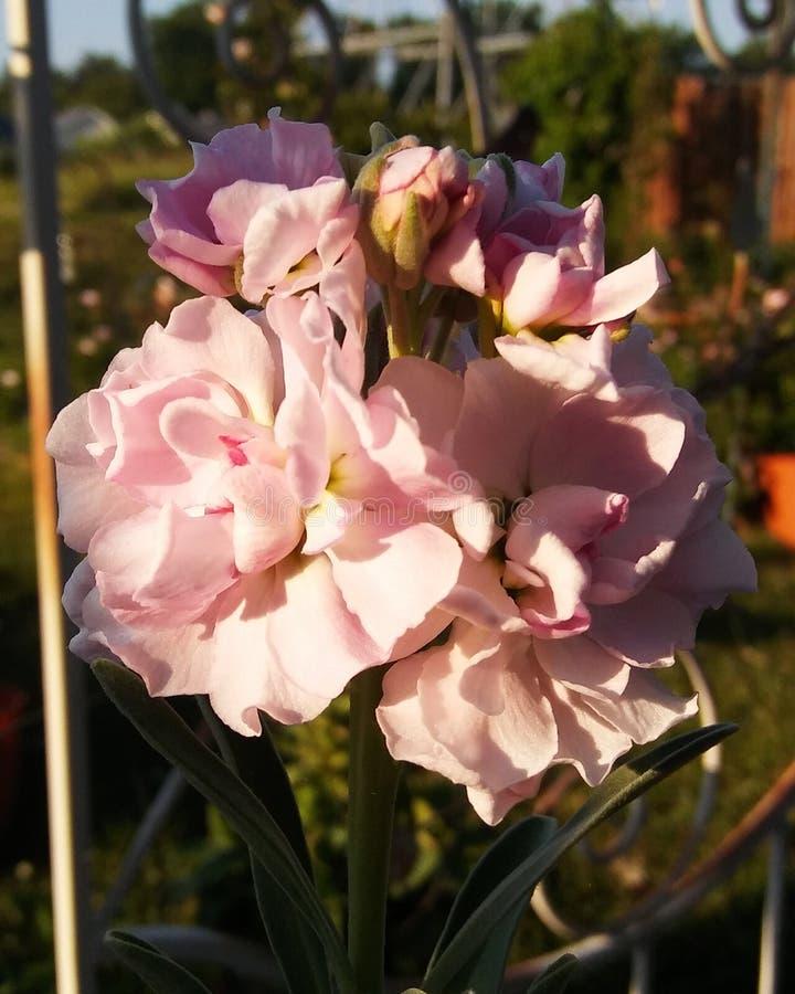 Flores conservadas em estoque cor-de-rosa fotografia de stock royalty free