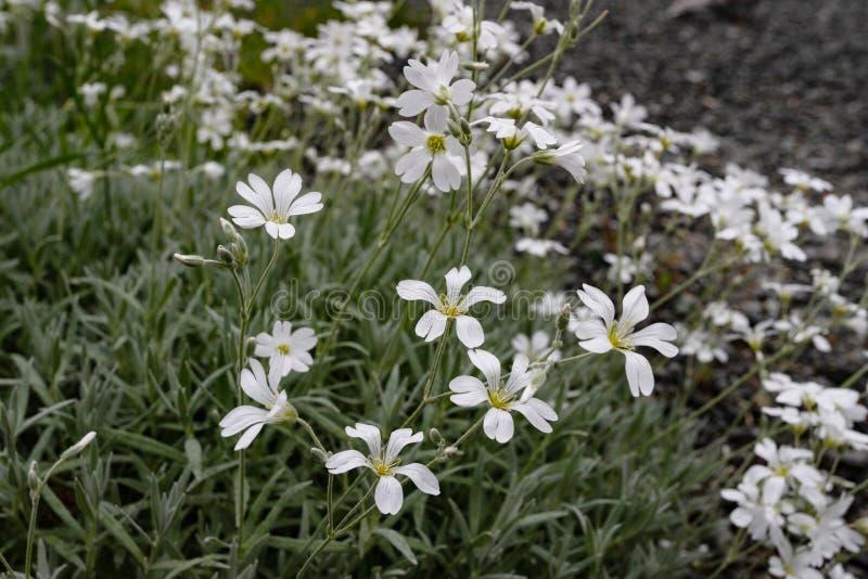 Flores consideravelmente brancas que florescem em um jardim imagem de stock