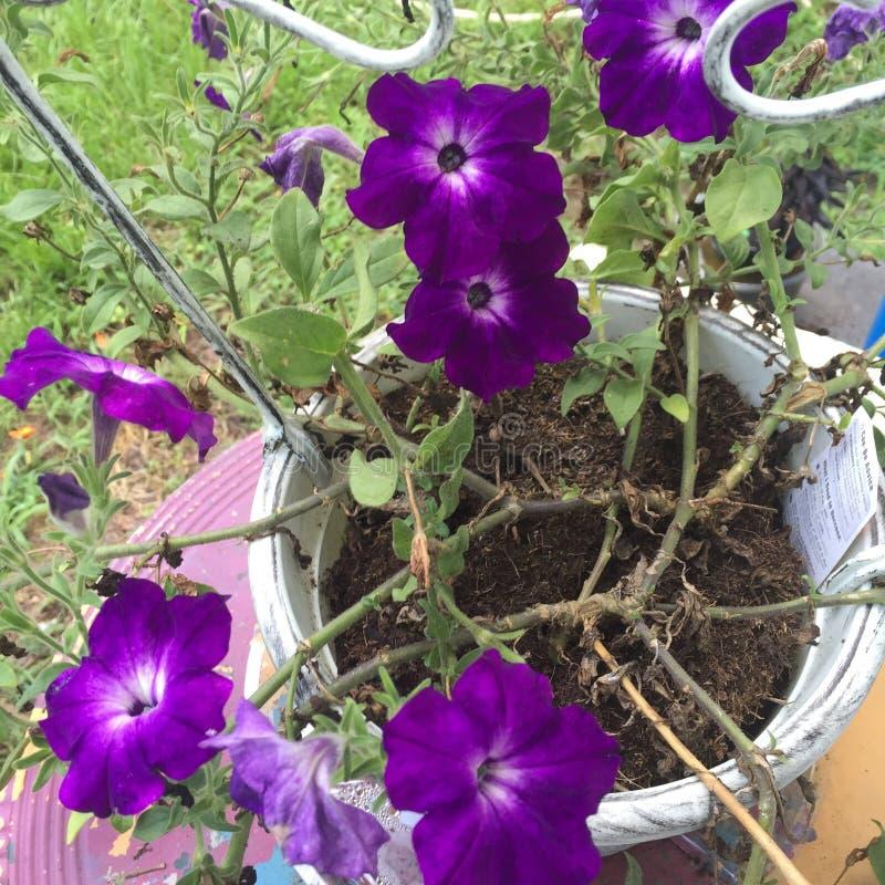 Flores consideravelmente roxas imagens de stock royalty free