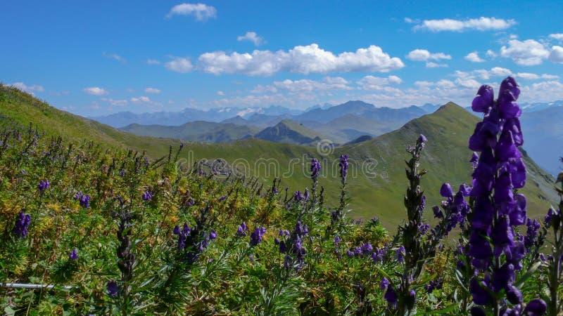 Flores consideravelmente roxas em um prado do wildflower em uma paisagem verde da montanha do verão nos cumes suíços fotografia de stock royalty free