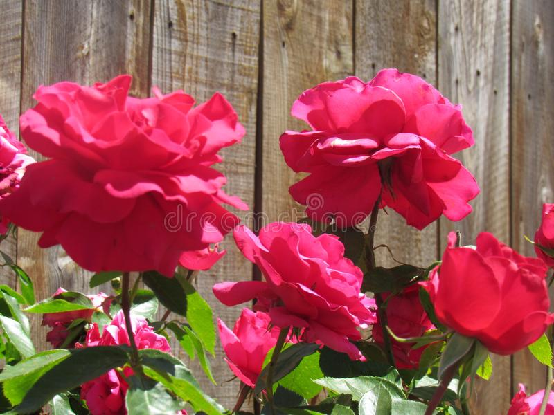 Flores consideravelmente vermelhas fotos de stock royalty free