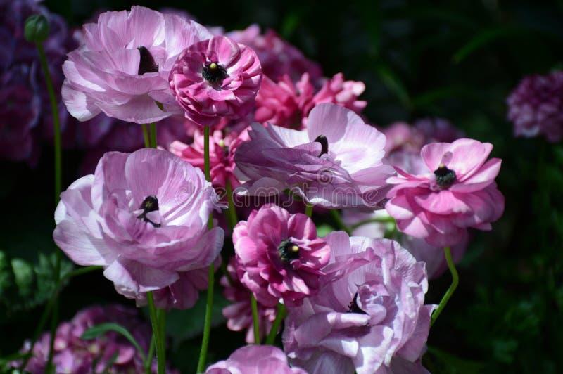 Flores cor-de-rosa abundantes do jardim fotos de stock