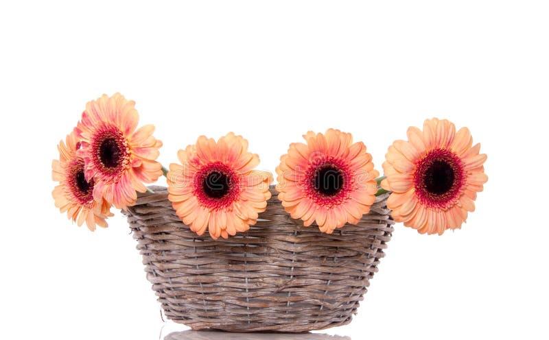 Flores cor-de-rosa alaranjadas do gerber fotografia de stock royalty free