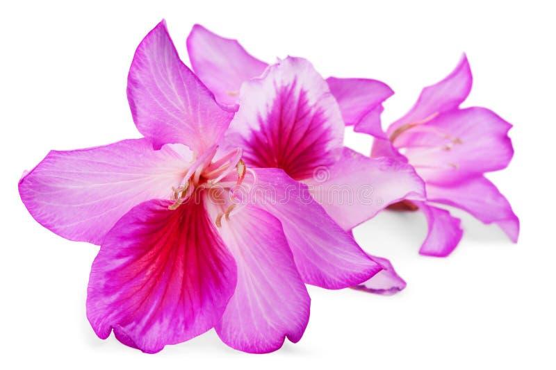 Flores cor-de-rosa bonitas imagens de stock royalty free