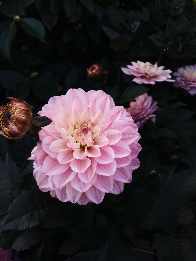 Flores cor-de-rosa bonitas da dália que florescem no jardim fotografia de stock