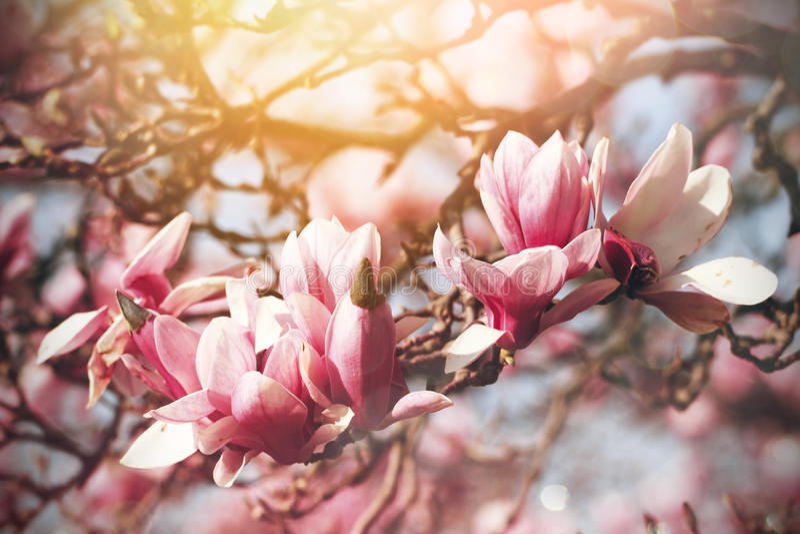 Flores cor-de-rosa bonitas do Magnolia imagens de stock royalty free