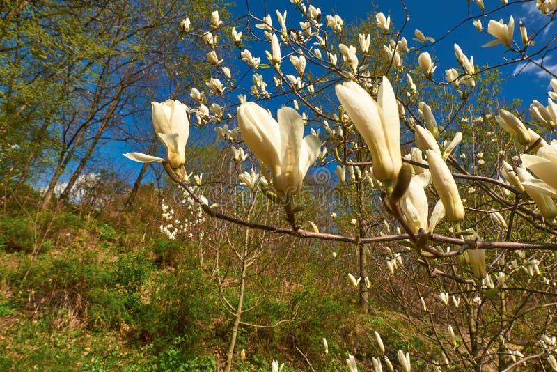 Flores cor-de-rosa bonitas do Magnolia fotos de stock