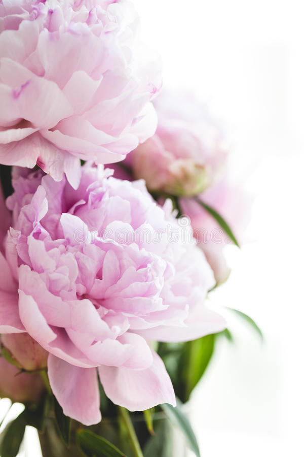 Flores cor-de-rosa bonitas do peony imagem de stock