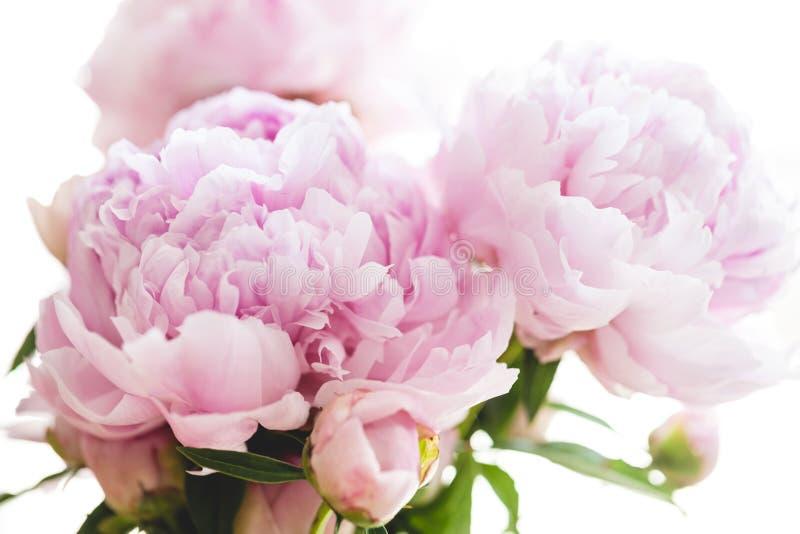 Flores cor-de-rosa bonitas do peony foto de stock