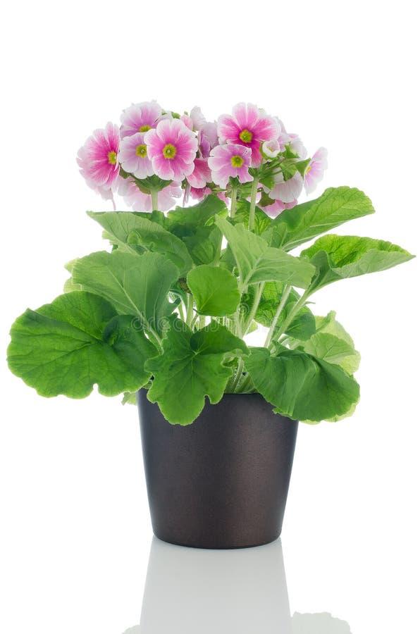 Flores cor-de-rosa bonitas do primrose imagem de stock royalty free