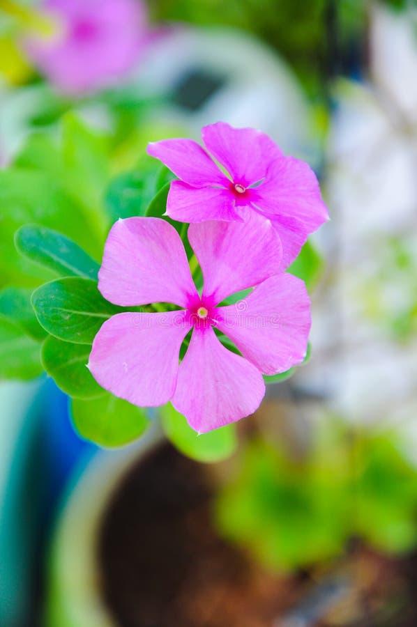 Flores cor-de-rosa bonitas do verão foto de stock