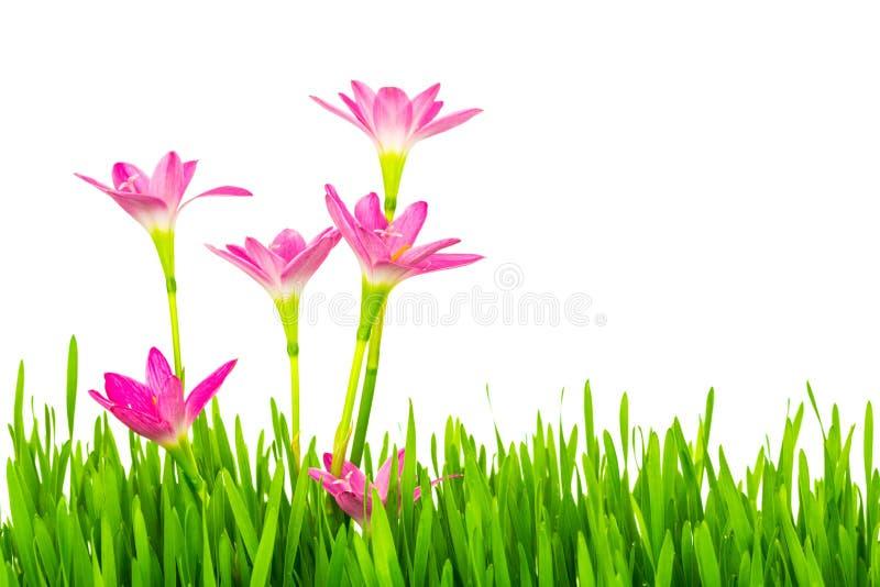 Flores cor-de-rosa bonitas e grama verde da mola fresca isolada sobre fotografia de stock