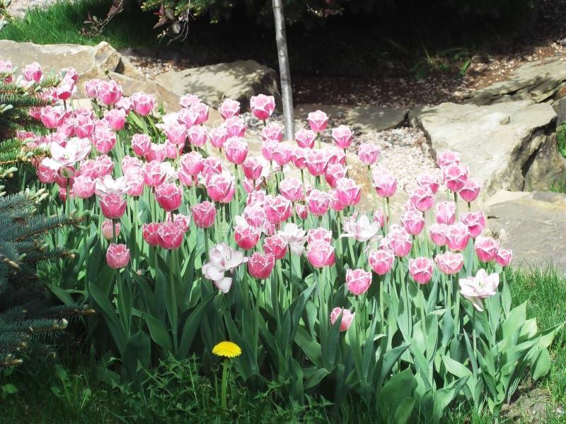 flores Cor-de-rosa-brancas da tulipa no canteiro de flores imagem de stock royalty free