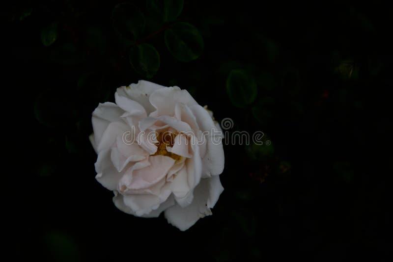 Flores cor-de-rosa brancas e fundo preto imagens de stock royalty free