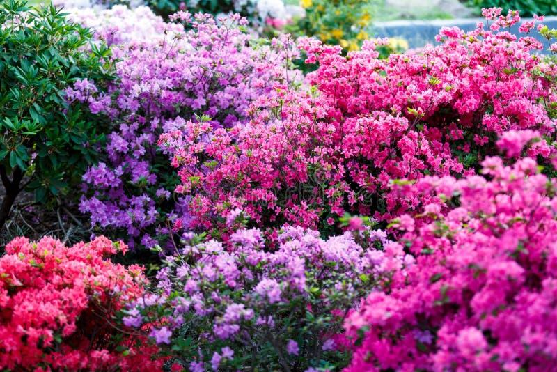 Flores cor-de-rosa brancas violetas coloridas da azálea no jardim Arbustos de florescência da azálea brilhante na luz solar da mo fotografia de stock