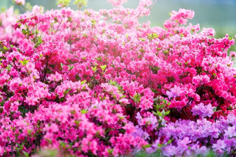 Flores cor-de-rosa brancas violetas coloridas da azálea no jardim Arbustos de florescência da azálea brilhante na luz solar da mo imagens de stock