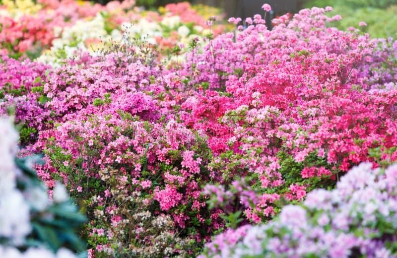 Flores cor-de-rosa brancas violetas coloridas da azálea no jardim Arbustos de florescência da azálea brilhante na luz solar da mo foto de stock royalty free