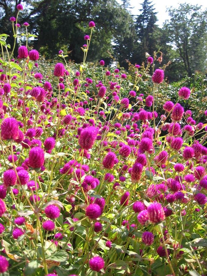 Flores cor-de-rosa brilhantes bonitas na cama de flor no jardim no verão no ramalhete grande do parque fotografia de stock royalty free
